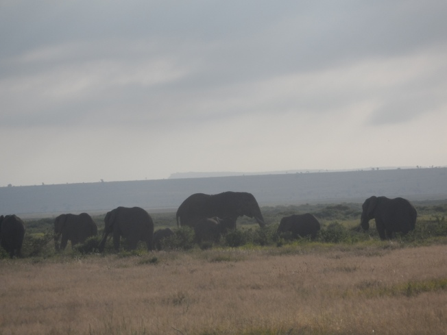 Elephants roaming the plains. There are VERY many elephants at Amboseli