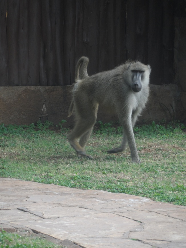 This was a FEARLESS monkey. Roaming around the rooms and not really worried about people walking near it.