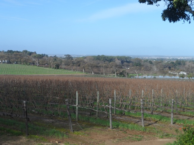 Vineyards at Groot Costantia