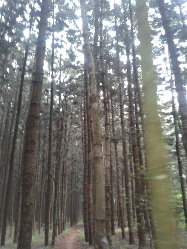 Trees in Karura Forest. Too beautiful